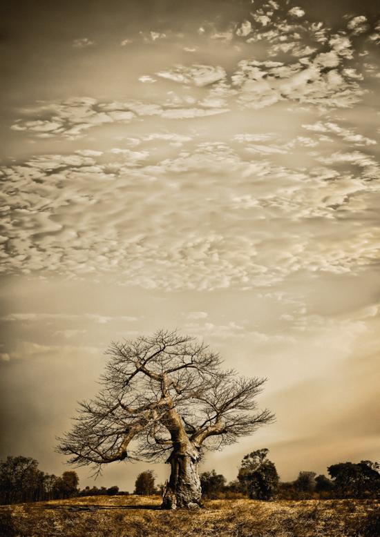 Baobab Hierarchy #1©KlausTiedge