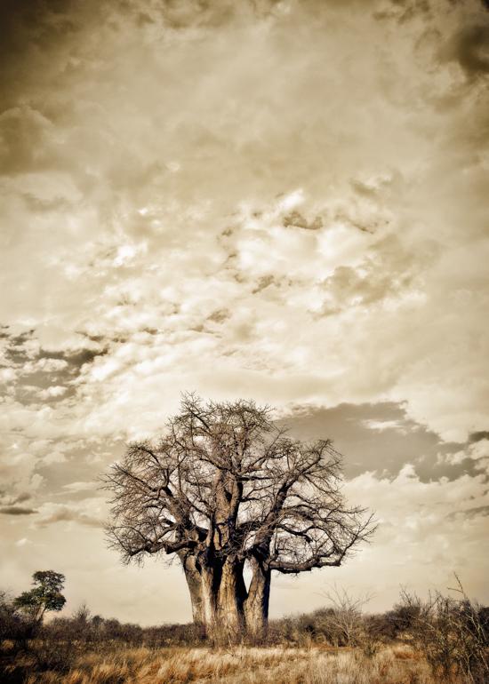 Baobab Hierarchy #1 - Klaus Tiedge Fine Art Wildlife Photography