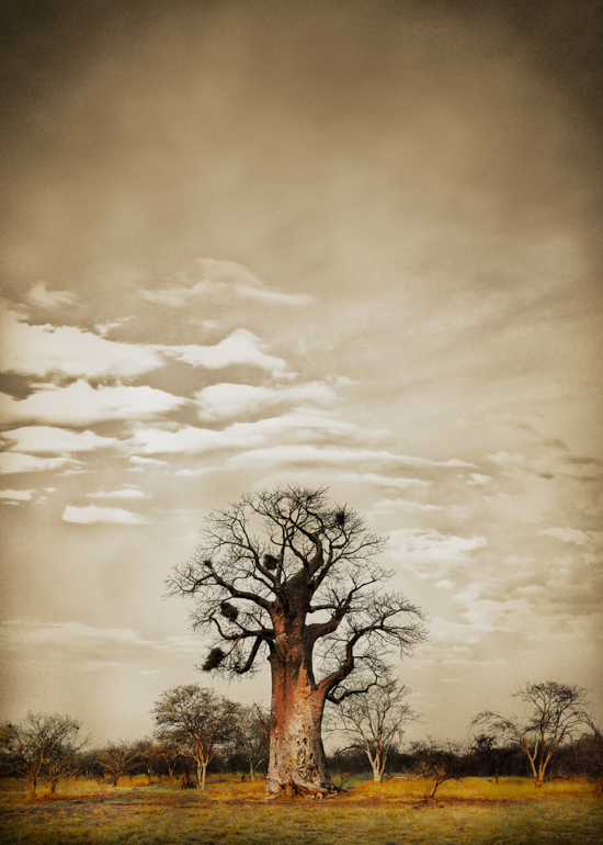 Baobab Hierarchy #5© AfricanFineArt.co.za