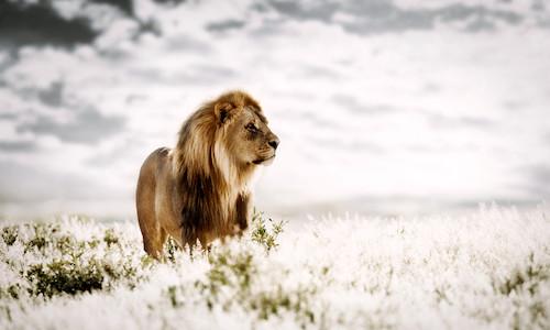 male lion Namibia