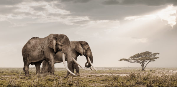 Patriarch #3 wildlife photograph of elephant by Klaus Tiedge
