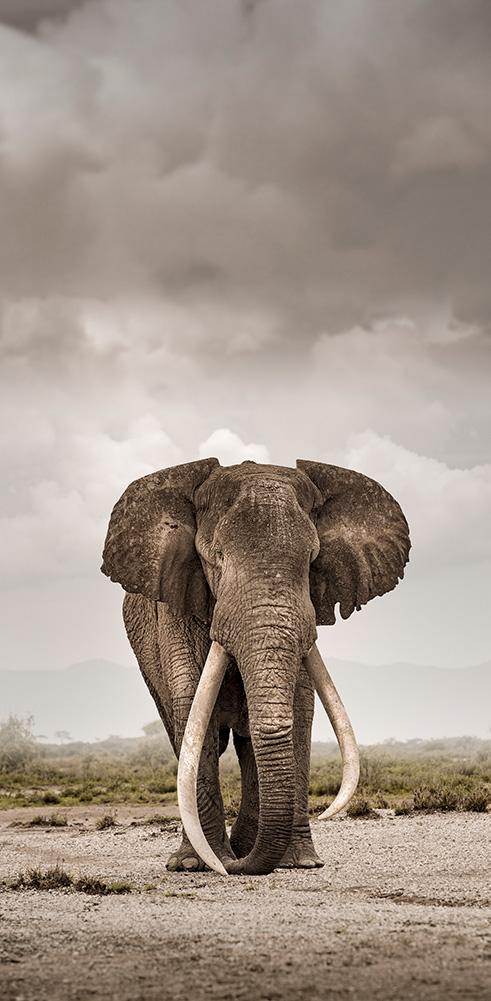 portrait elephant bull big tusker