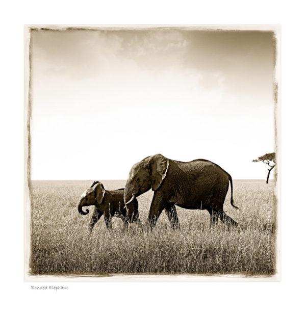 Bonded Elephant_W01©AfricanFineArt