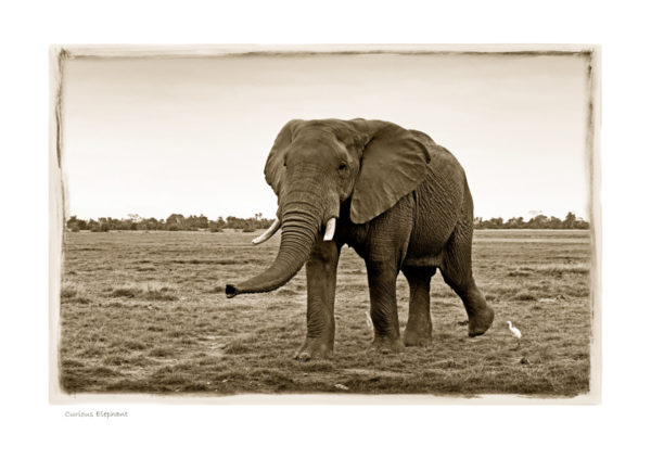 https://www.klaustiedge.com/wp-content/uploads/W03_Wan_Curious-Elephant-©AfricanFineArt.co_.za_.jpg