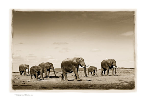 https://www.klaustiedge.com/wp-content/uploads/W05_Wan_Wide-spread-Elephants-©AfricanFineArt.co_.za_.jpg