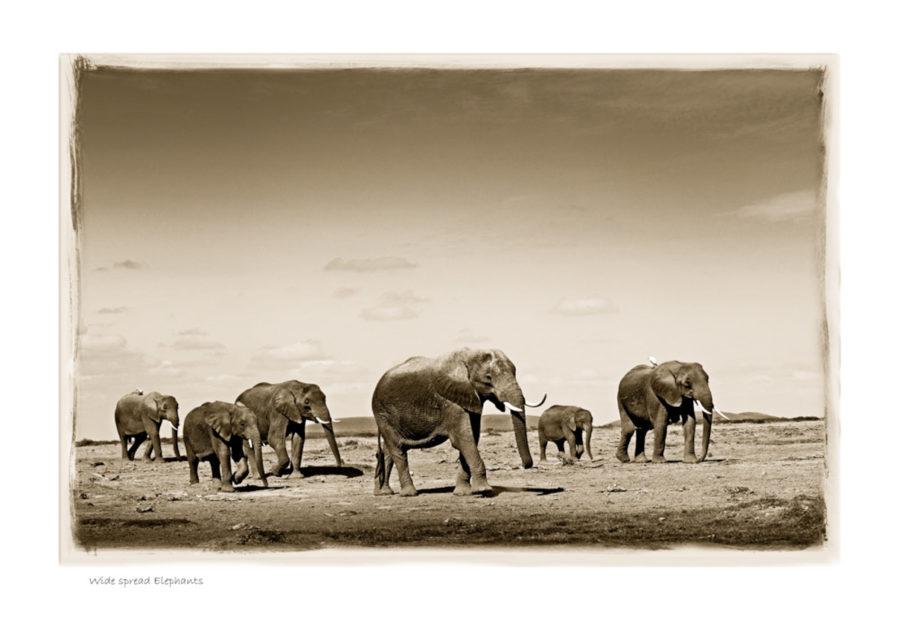 https://www.klaustiedge.com/wp-content/uploads/W05_Wan_Wide-spread-Elephants-©AfricanFineArt.co_.za_.jpg