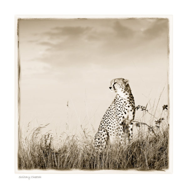 https://www.klaustiedge.com/wp-content/uploads/W08_Wan_Solitary-Cheetah-©AfricanFineArt.co_.za_.jpg