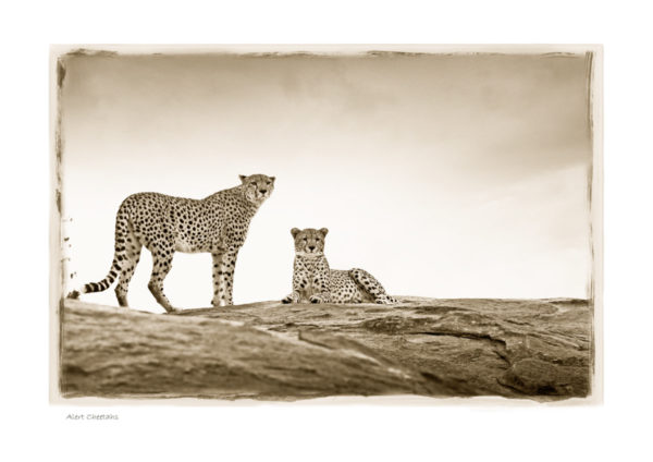 https://www.klaustiedge.com/wp-content/uploads/W10_Wan_Alert-Cheetahs-©AfricanFineArt.co_.za_.jpg