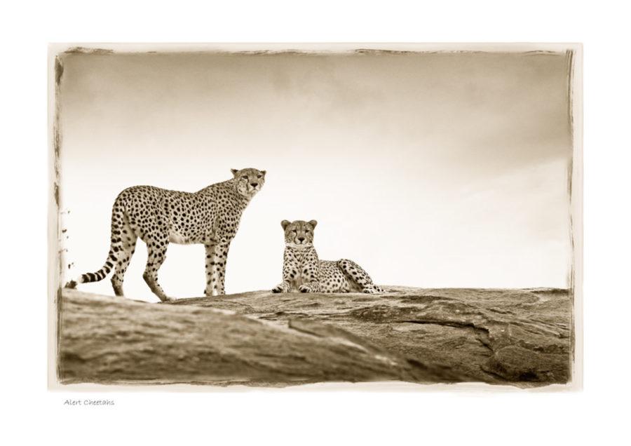 https://www.klaustiedge.com/wp-content/uploads/W10_Wan_Alert-Cheetahs-©AfricanFineArt.co_.za_.jpg