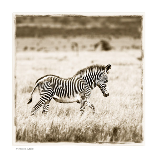 https://www.klaustiedge.com/wp-content/uploads/W16_Wan_Innocent-Zebra-©AfricanFineArt.co_.za_.jpg