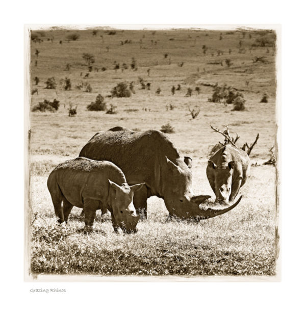 https://www.klaustiedge.com/wp-content/uploads/W20_Wan_Grazing-Rhinos-©AfricanFineArt.co_.za_.jpg