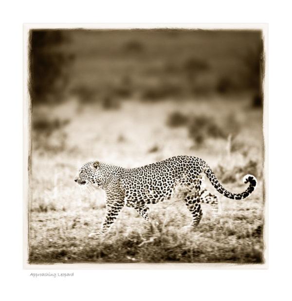 Approaching Leopard_W25©AfricanFineArt