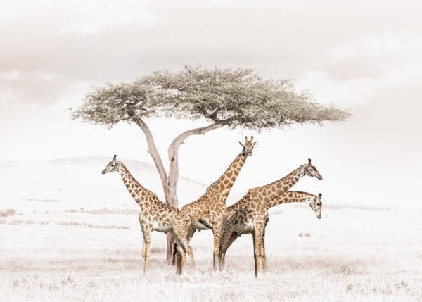 W30_white_Giraffes©Klaus Tiedge
