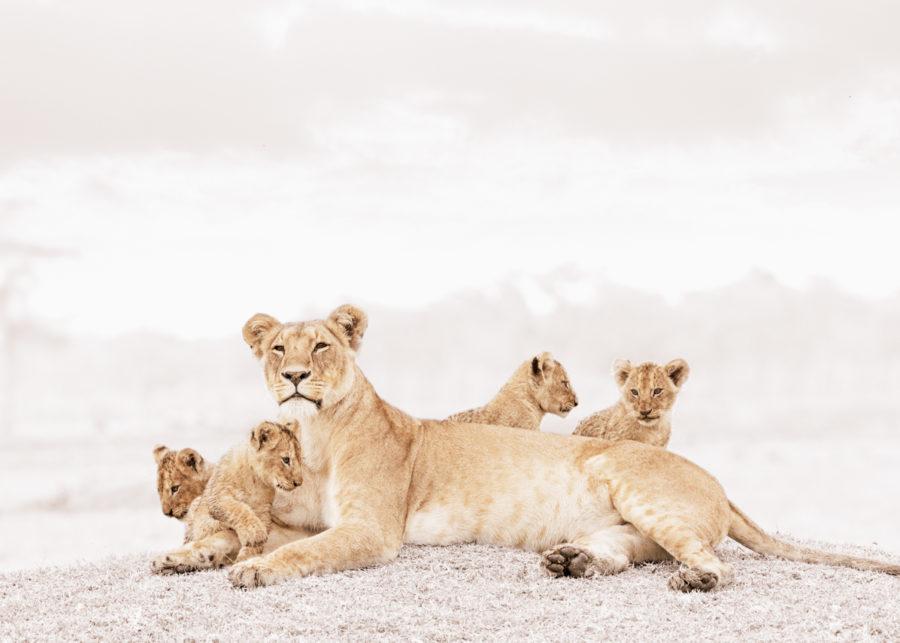 W32_White_Lioness&cubs© Klaus Tiedge