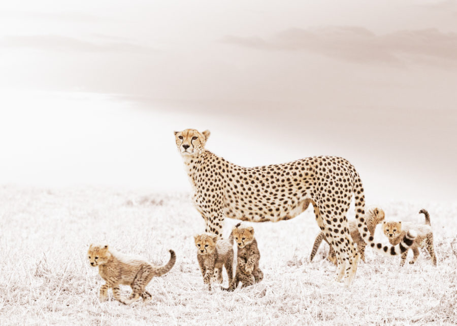 W34_White_Cheetah&Cubs© Klaus Tiedge
