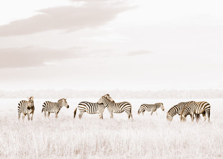 W35_White_Zebras©Klaus Tiedge