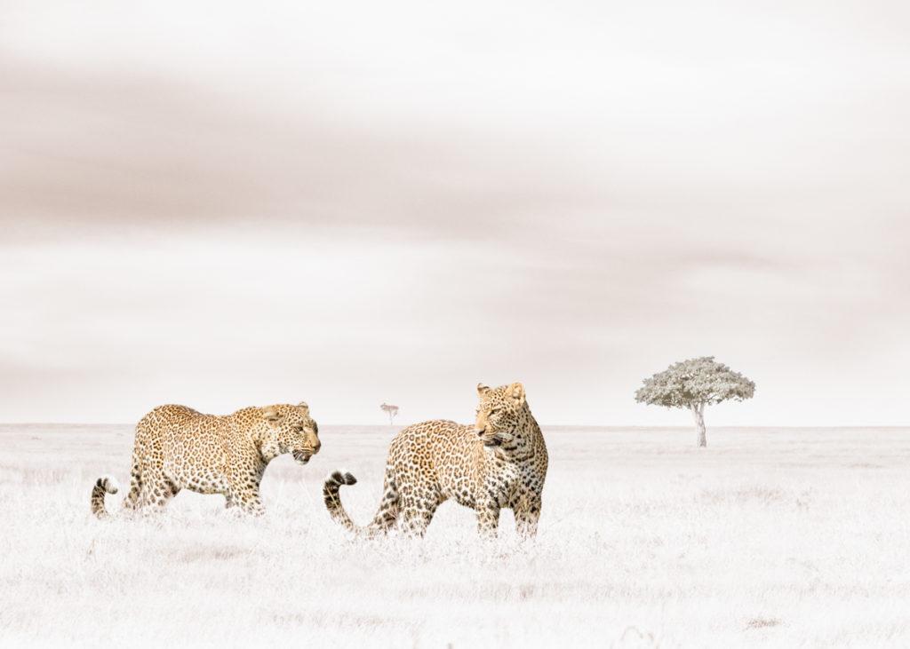 W36_White_Leopards © Klaus Tiedge