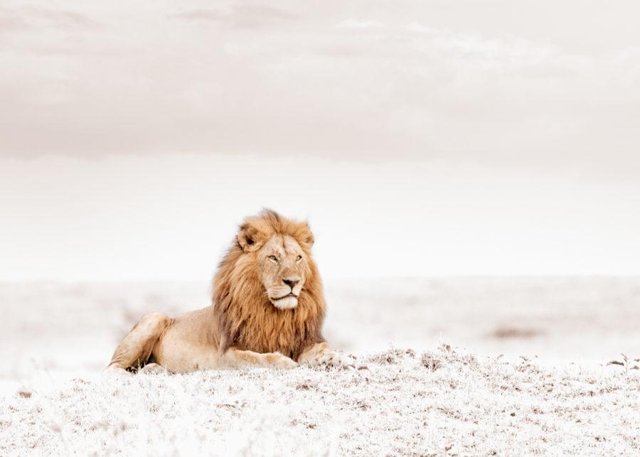 W38_Whtie_Lion © Klaus Tiedge