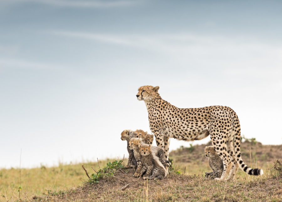 W48_Color_Cheetha&Cubs© AfricanFineArt.co.za