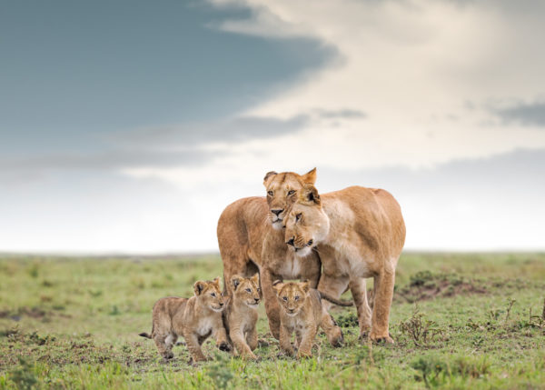W49_Color_Liones&Cubs© AfricanFineArt.co.za