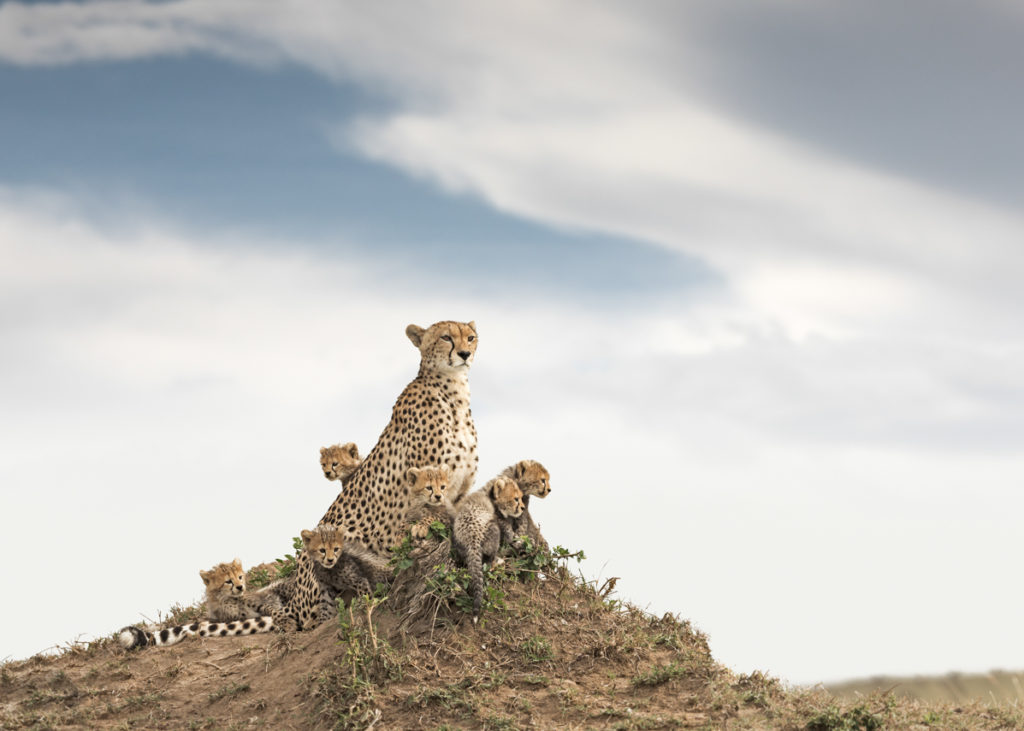 W50_Color_Cheetha&Cubs© AfricanFineArt.co.za