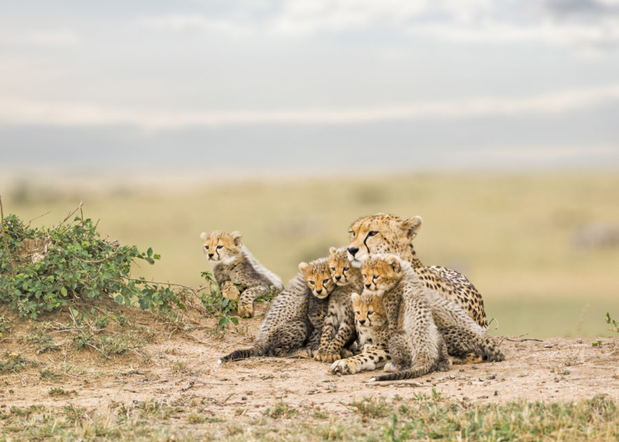 W51_Color_Cheetha&Cubs© AfricanFineArt.co.za