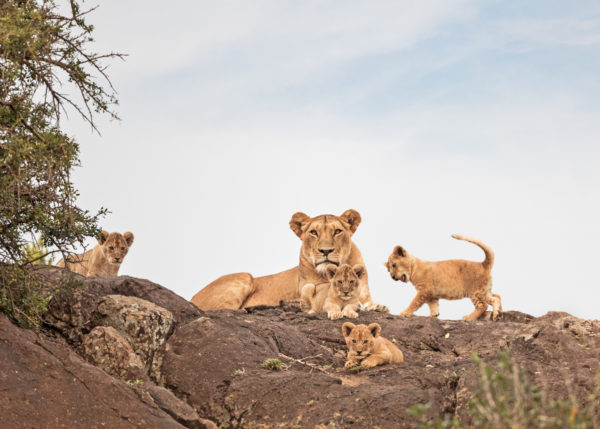 W53_Color_Liones&Cubs© AfricanFineArt.co.za