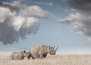 W55_Color_Rhino Mon&Calf© AfricanFineArt.co.za