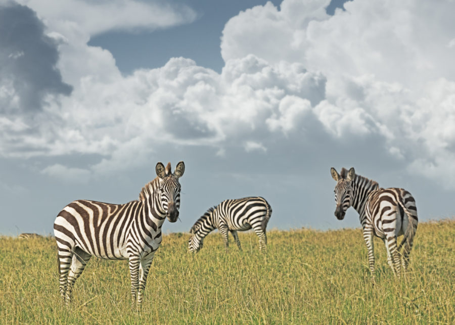 W57_Color_Zebra Duo© AfricanFineArt.co.za