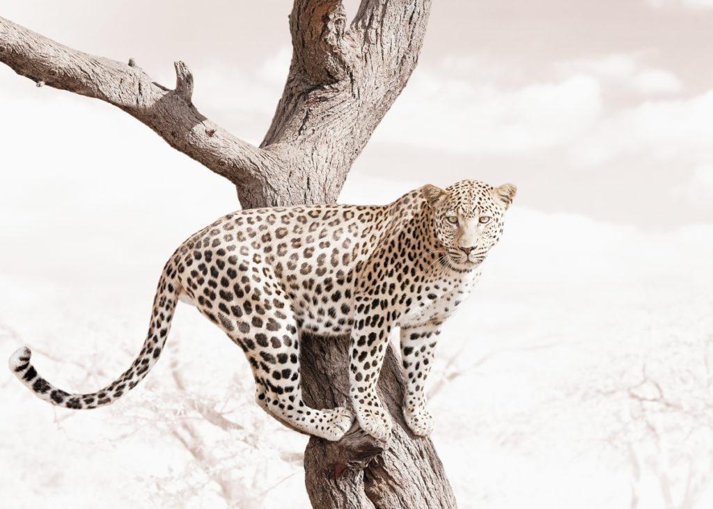 W59_White_Leopard©KlausTiedge