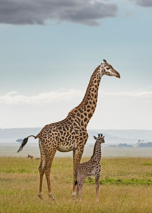 W61_Color_Giraffe&Calf© AfricanFineArt.co.za
