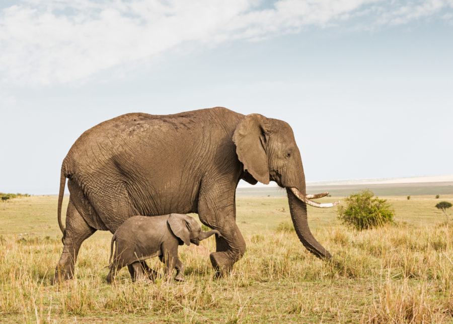 W63_Color_Elephant&Calf© AfricanFineArt.co.za