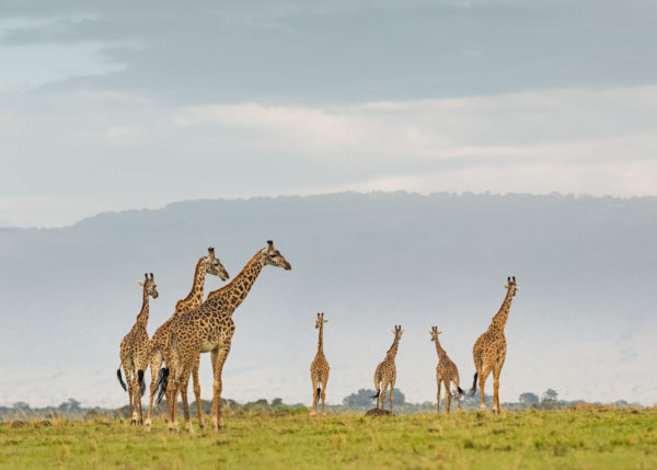 W64_Color_Giraffe Herd© AfricanFineArt.co.za
