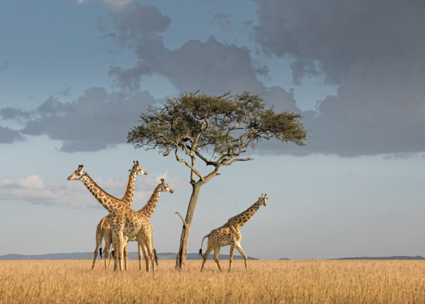 W67_Color_Giraffes under tree© AfricanFineArt.co.za