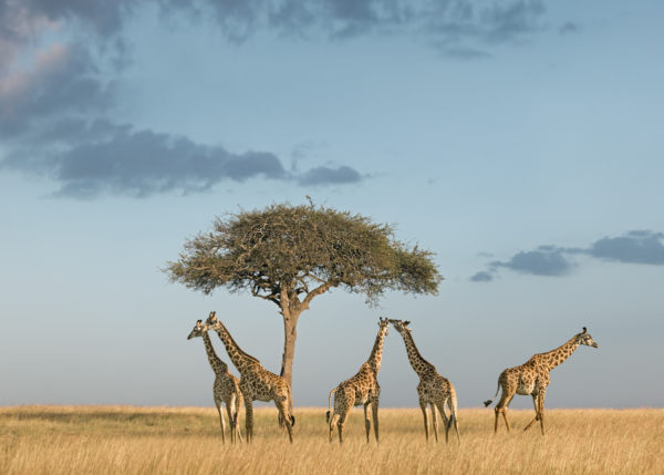 W68_Color_Giraffes under tree© AfricanFineArt.co.za