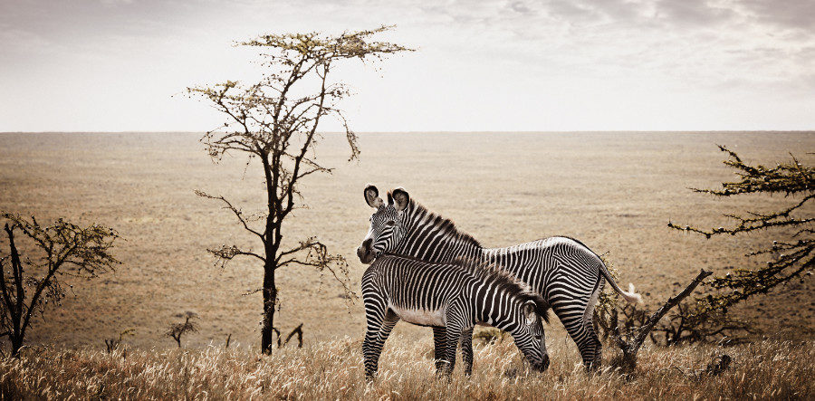 GREVY-ZEBRA-OF-LEWA limited edition fine art print by Klaus Tiedge