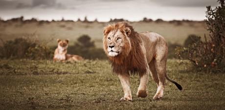 Wildlife Print Lion